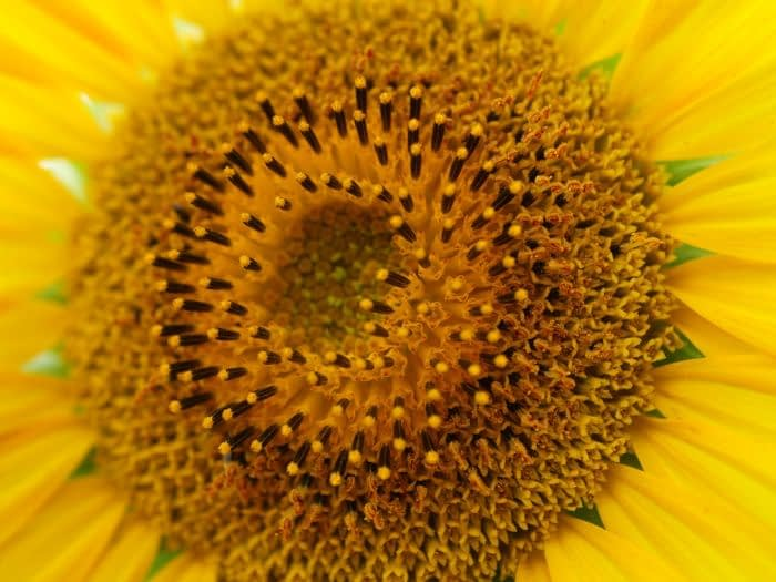 Sunflowers - sunshine in the seeds
